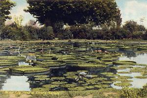 Dreer Nursery Lily Pond